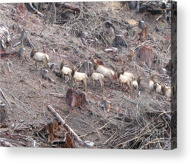 Elk Acrylic Print featuring the photograph Cascade Elk by Juli House
