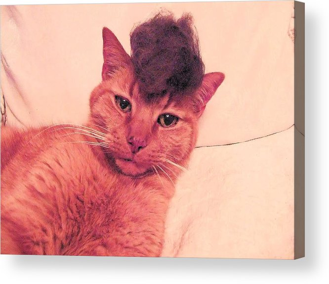 Cat Wearing A Wig Acrylic Print featuring the photograph Cat Wearing A Wig by Derek Longman