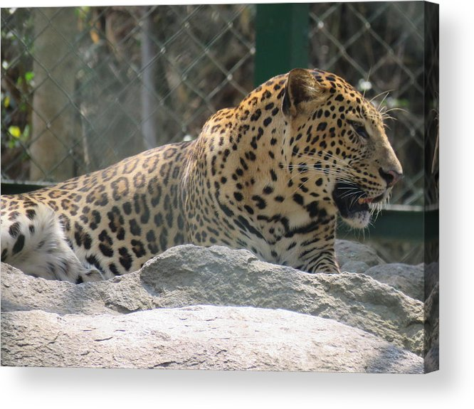 Leopard Acrylic Print featuring the photograph Cheetah by Utpal Datta