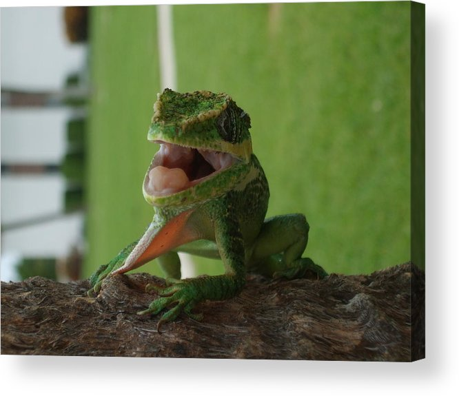 Iguana Acrylic Print featuring the photograph Chilling On Wood by Rob Hans