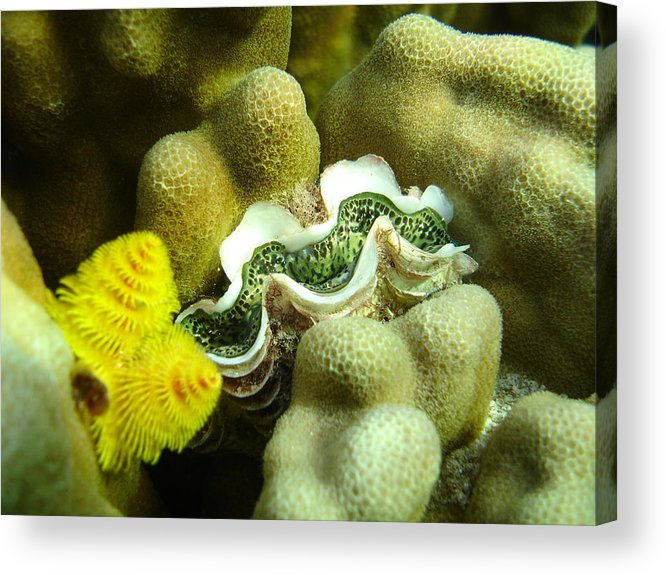 Underwater Acrylic Print featuring the photograph Clam On The Reef by Chad Natti
