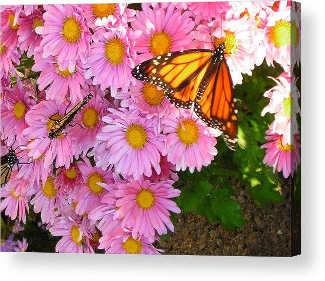 Butterfly Acrylic Print featuring the photograph Cliff House Butterflies by Heather Weikel