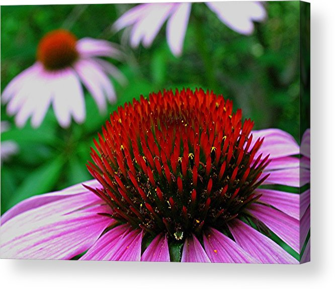 Purple Acrylic Print featuring the photograph Coneflowers by Juergen Roth