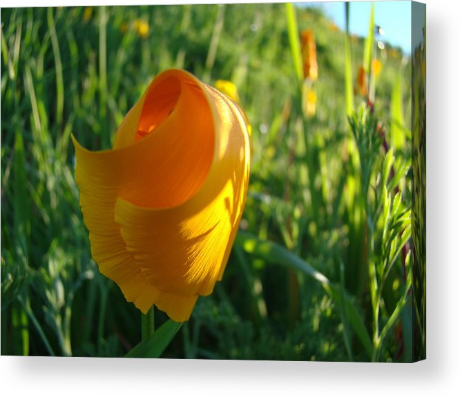 �poppies Artwork� Acrylic Print featuring the photograph Contemporary Orange Poppy Flower Unfolding In Sunlight 10 Baslee Troutman by Baslee Troutman