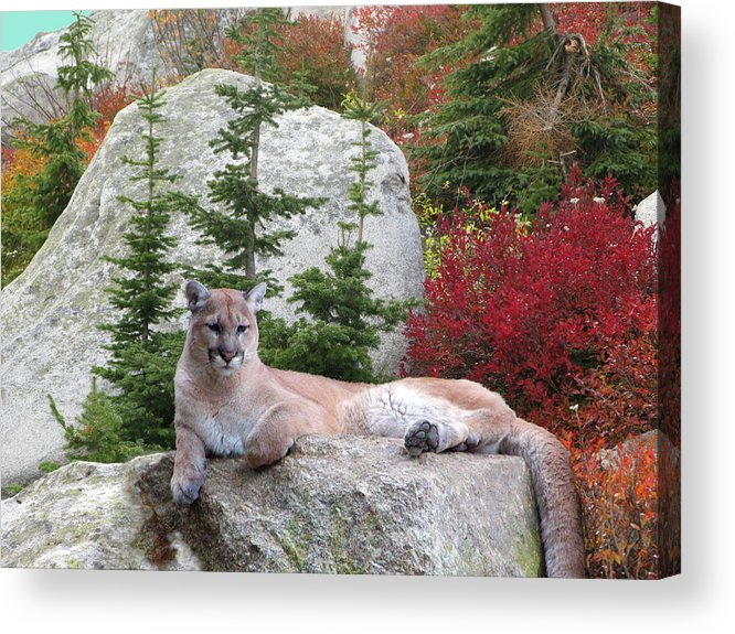 Cougar Acrylic Print featuring the photograph Cougar On Rock by Robert Bissett