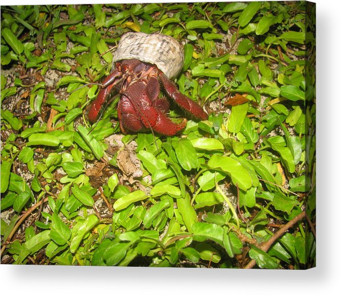 Hermit Crab Acrylic Print featuring the photograph Crab On The Move by Steve Madore