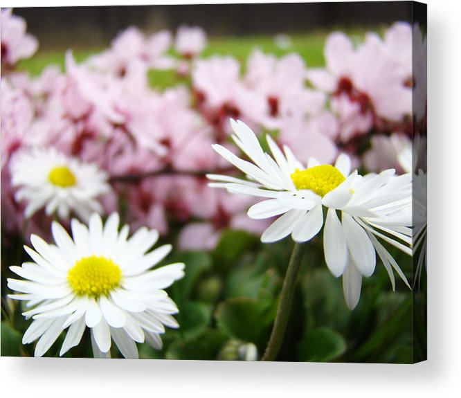 Daisies Acrylic Print featuring the photograph Daisies Flowers Art Prints Spring Flowers Artwork Garden Nature Art by Baslee Troutman