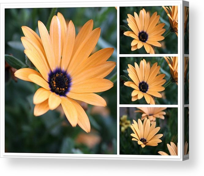 Daisy Acrylic Print featuring the photograph Daisy by Bob Gardner