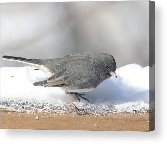 Bird Acrylic Print featuring the photograph Dark Eyed Junco On The Railing 3 by Laurie With