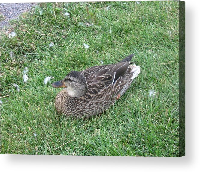 Duck Acrylic Print featuring the photograph Duck by Melissa Parks