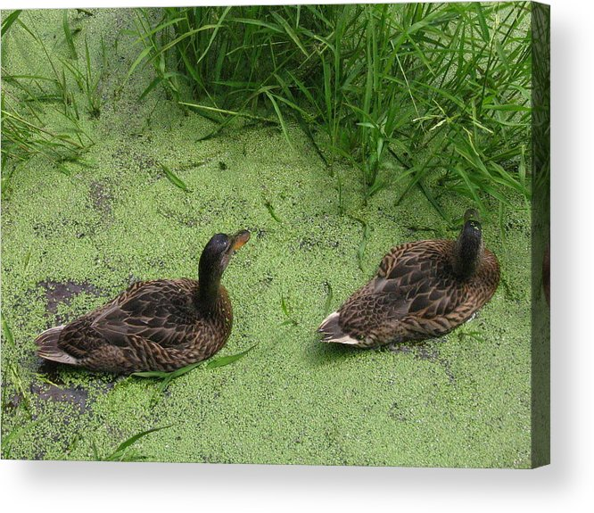 Duck Acrylic Print featuring the photograph Ducks In Pond by Melissa Parks