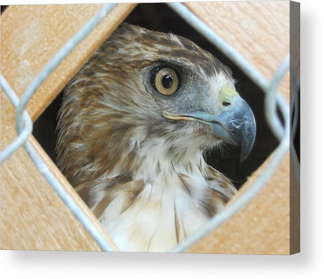 Falcon Acrylic Print featuring the photograph Falcon by Tatiana Ashalintubbi