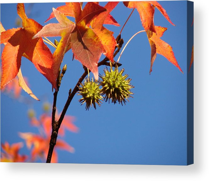 Autum Leaves Acrylic Print featuring the photograph Fall Leaves by Liz Vernand