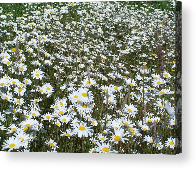 Dasies Acrylic Print featuring the photograph Field Dasies by Gene Ritchhart