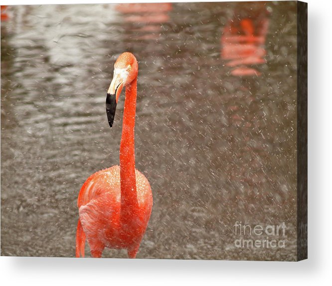 Flamingo Acrylic Print featuring the photograph Flamingo by Valerie Morrison