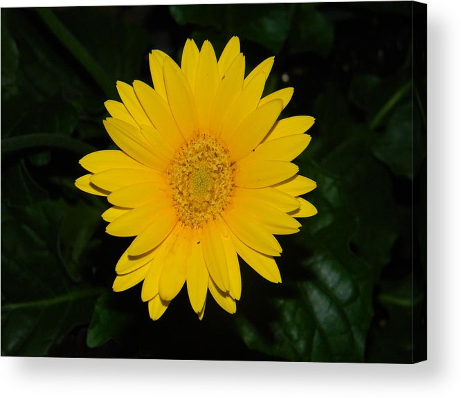 Flowers Acrylic Print featuring the photograph Flower by Adam Hernandez