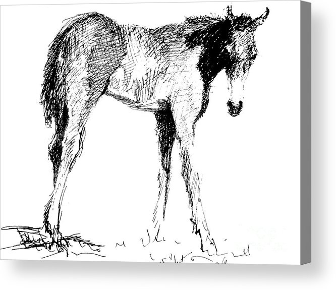 Horse Acrylic Print featuring the drawing Foal In Black And White by Paul Miller