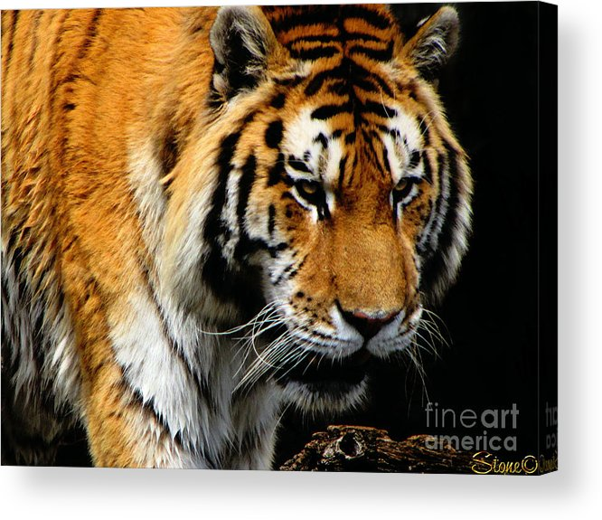 Tiger Acrylic Print featuring the photograph Focused by September Stone
