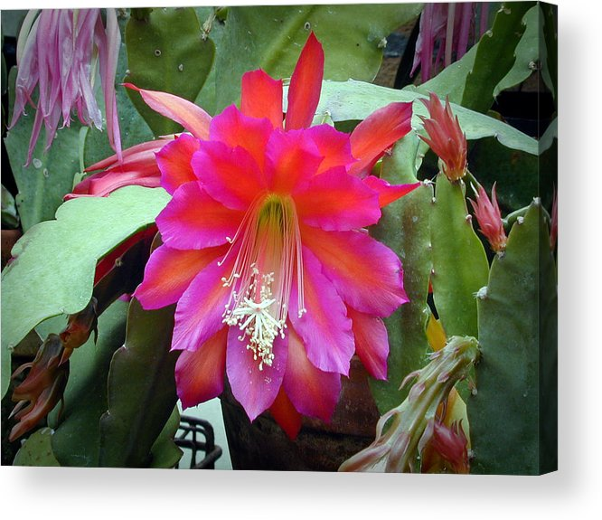 Fuchia Acrylic Print featuring the photograph Fuchia Cactus Flower by Douglas Barnett