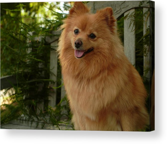 Pomeranian Furtograph Acrylic Print featuring the photograph Furgie by Kareem Farooq