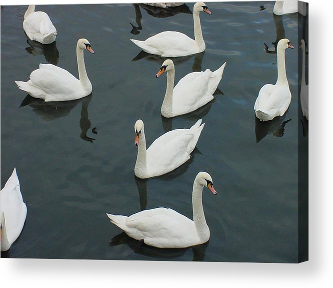 Swans Acrylic Print featuring the photograph Galway Swans On The Claddagh by Deborah Squires