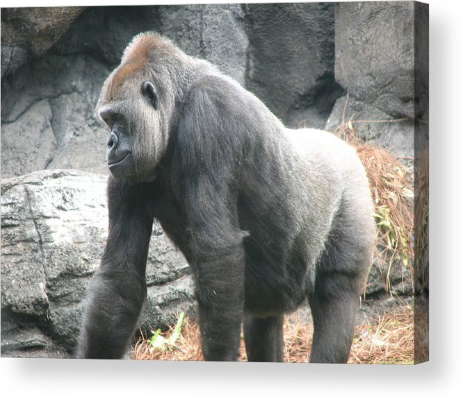 Gorilla Acrylic Print featuring the photograph Gentle Giant by Stacey May