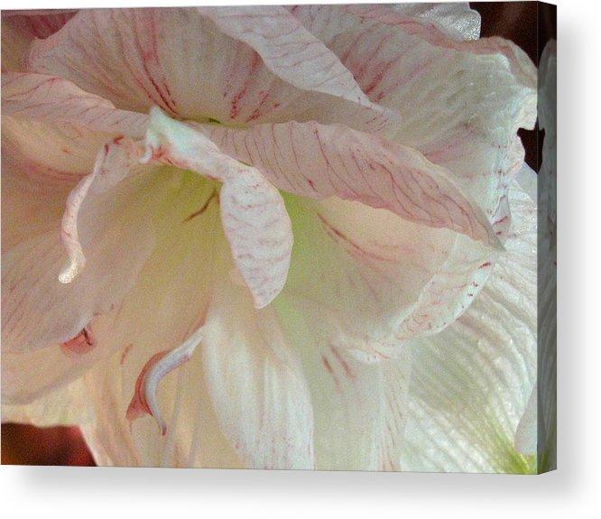 Amerylius Acrylic Print featuring the photograph Glorioso by Belinda Consten