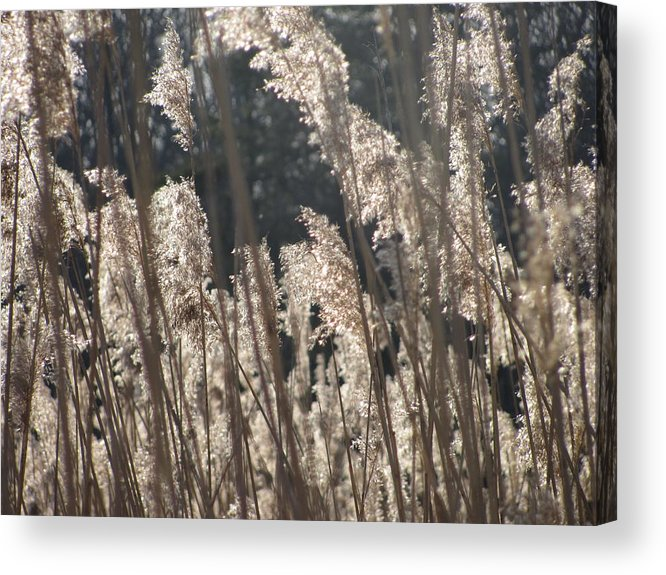 Golden Brown Grass Photographs Canvas Prints Reeds Nuetral Colors Landscape Winter Wetland Images Winter Marsh Photo Prints Maryland Cheasapeake Tributary Acrylic Print featuring the photograph Golden Brown by Joshua Bales
