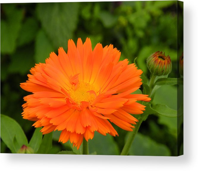 Daisy Acrylic Print featuring the photograph Golden Glow by Julie Behm