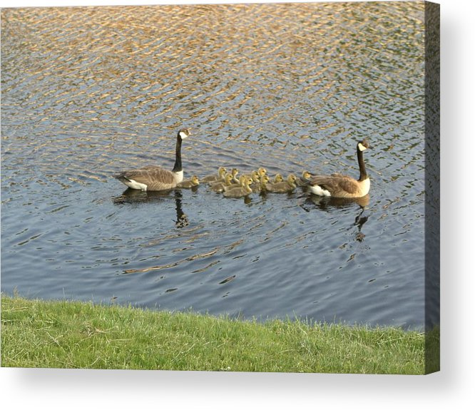 Geese Acrylic Print featuring the photograph Goose Pond 1 by Nancy Ferrier