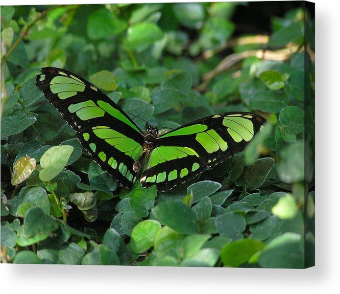 Green Acrylic Print featuring the photograph Green Butterfly by Louise Magno