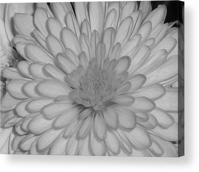 Flower Acrylic Print featuring the photograph He Loves Me He Loves Me Not by Stephanie Golden