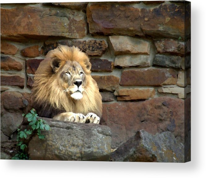Lion Acrylic Print featuring the photograph His Highness by Chuck Shafer