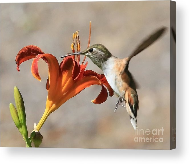 Hummingbird Acrylic Print featuring the photograph Hummingbird Whisper by Carol Groenen