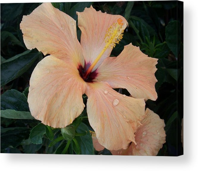 Hybiscus Acrylic Print featuring the photograph Hybiscus After The Rain by Ellen B Pate