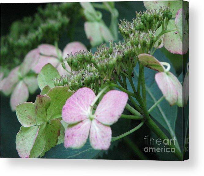 Hydrangea Acrylic Print featuring the photograph Hydrangea by Amanda Barcon