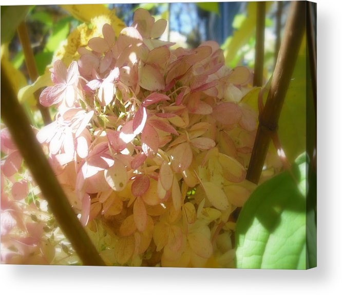 Flower Acrylic Print featuring the photograph Hydrangea by John Julio