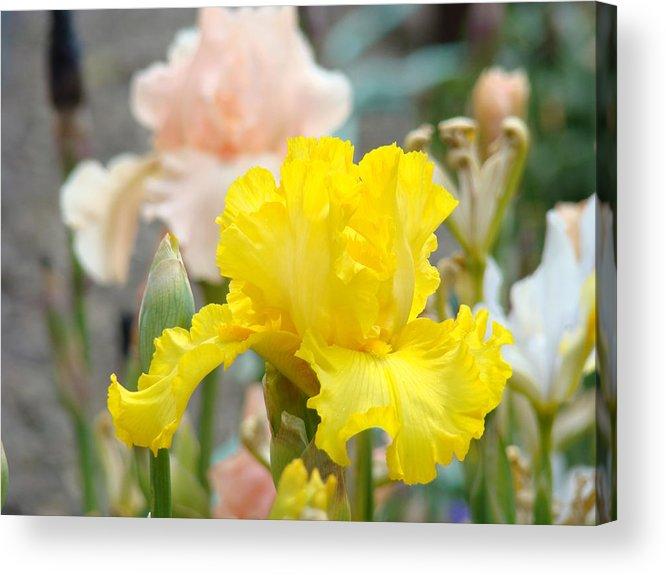 �irises Artwork� Acrylic Print featuring the photograph Irises Botanical Garden Yellow Iris Flowers Giclee Art Prints Baslee Troutman by Baslee Troutman
