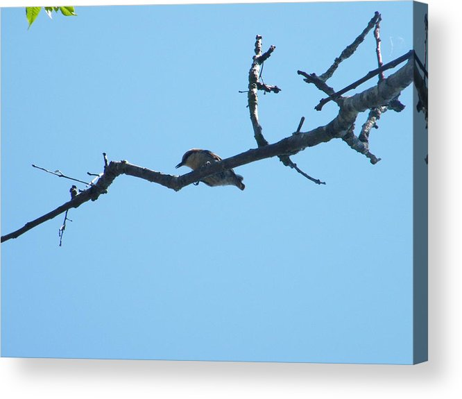 Bird In The Branch Acrylic Print featuring the photograph Is A Bird by Nereida Slesarchik Cedeno Wilcoxon