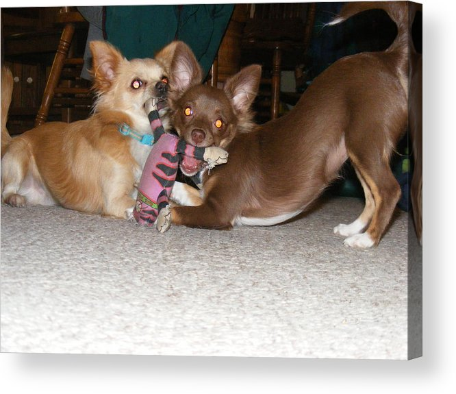 Chihuahua Acrylic Print featuring the photograph It's Mine by James and Vickie Rankin