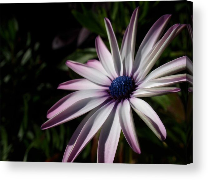 Black Eyed Susan Acrylic Print featuring the photograph Just Look by Edan Chapman