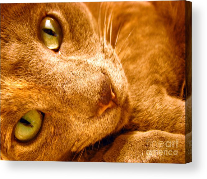 Cats Acrylic Print featuring the photograph Kitty by Amanda Barcon
