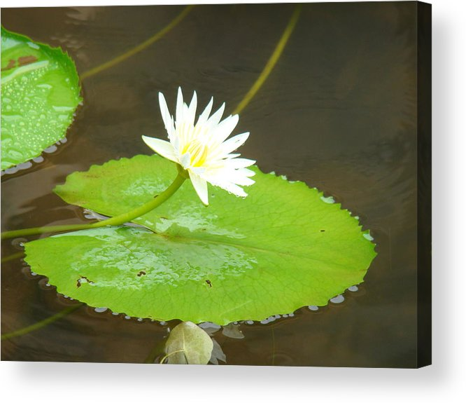 Nature Acrylic Print featuring the photograph Lily-1 by Reshmi Shankar