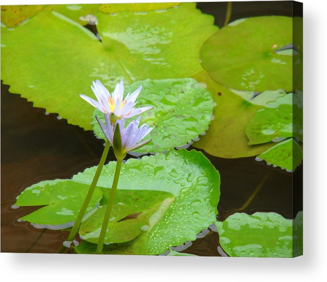 Water Lily Acrylic Print featuring the photograph Lily-2 by Reshmi Shankar