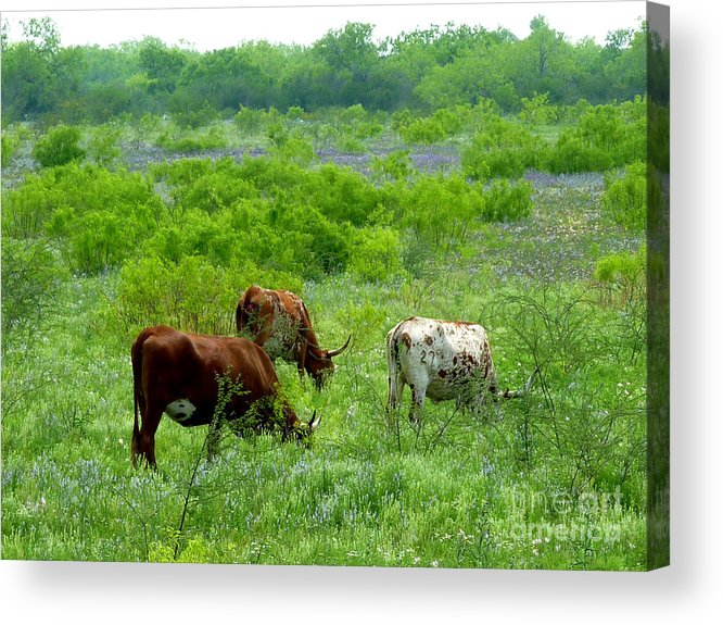 Nature Acrylic Print featuring the photograph Longhorns - Grazing In The Wilds by Lucyna A M Green
