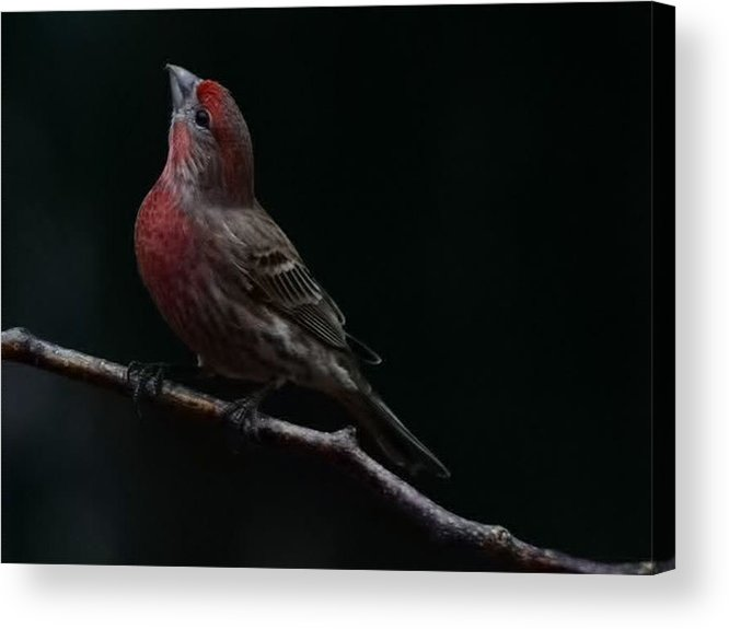 Finch Acrylic Print featuring the photograph Looking Towards Heaven by Gaby Swanson