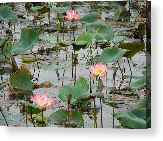Nature Acrylic Print featuring the photograph Lotus Pond-1 by Reshmi Shankar