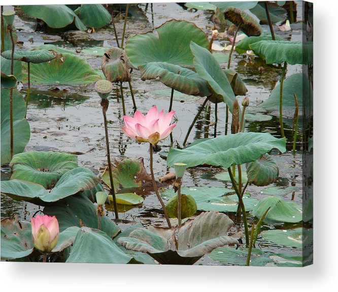 Nature Acrylic Print featuring the photograph Lotus Pond -2 by Reshmi Shankar
