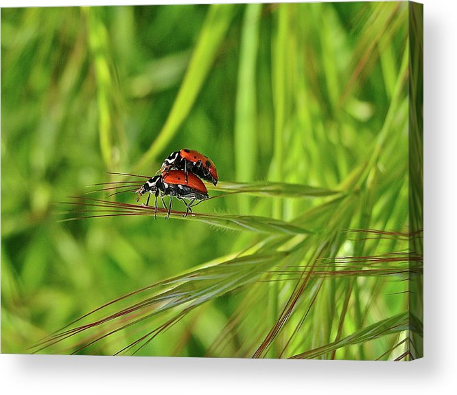 Insects Acrylic Print featuring the photograph Macro Acrobats by Diana Hatcher