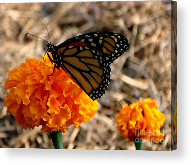 Butterfly Acrylic Print featuring the photograph Magnificent Monarch by PJ Cloud